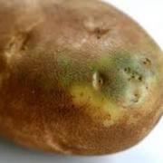 """قسمت های سبز شده سیب زمینی حاوی سمی به نام """"گلیکو آلکالویید"""" ..."""