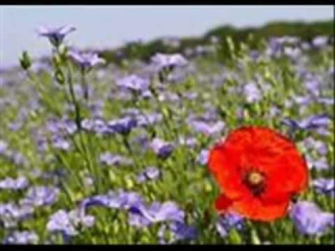 Shaghayegh Flower شقایق، گل همیشه عاشق